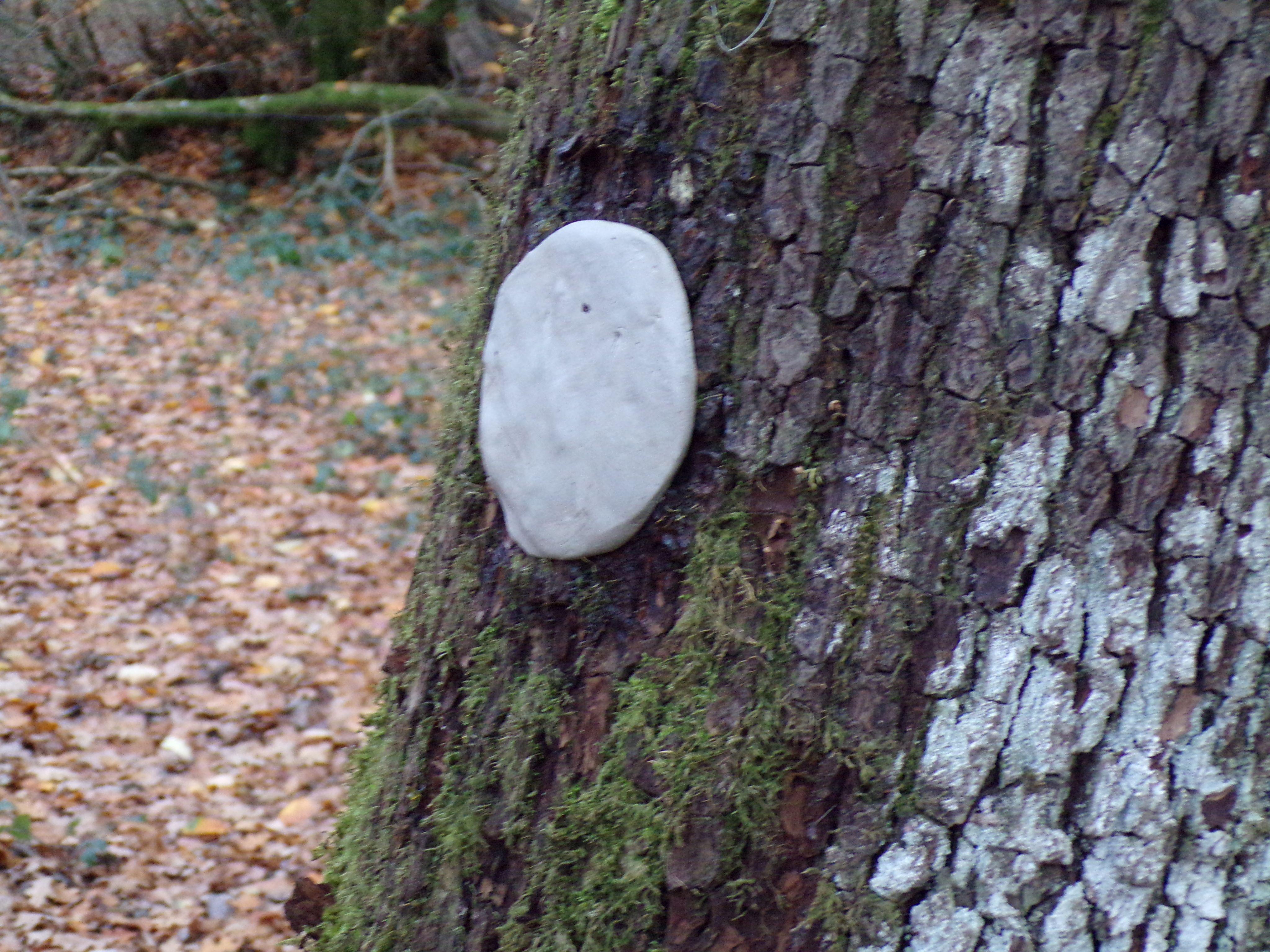 Pain d'argile appliqué sur l'écorce d'un chêne.