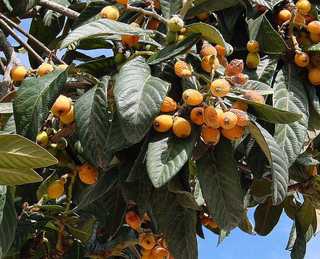 Neflier Du Japon Fruits à tous Les Stades. Wikipédia.